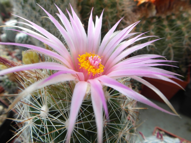 Cacti and Sukkulent in Köln, every day new flowers in the greenhouse Part 62 Bild_509