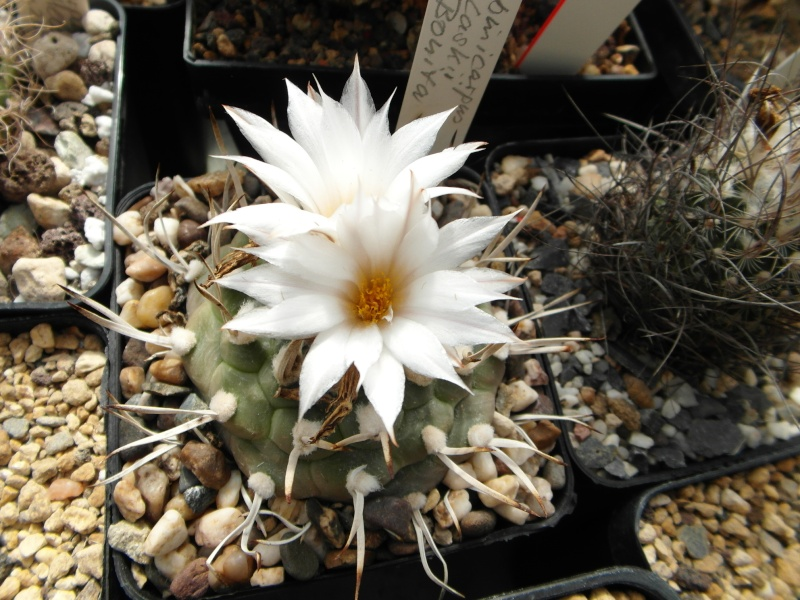 Cacti and Sukkulent in Köln, every day new flowers in the greenhouse Part 57 Bild_520