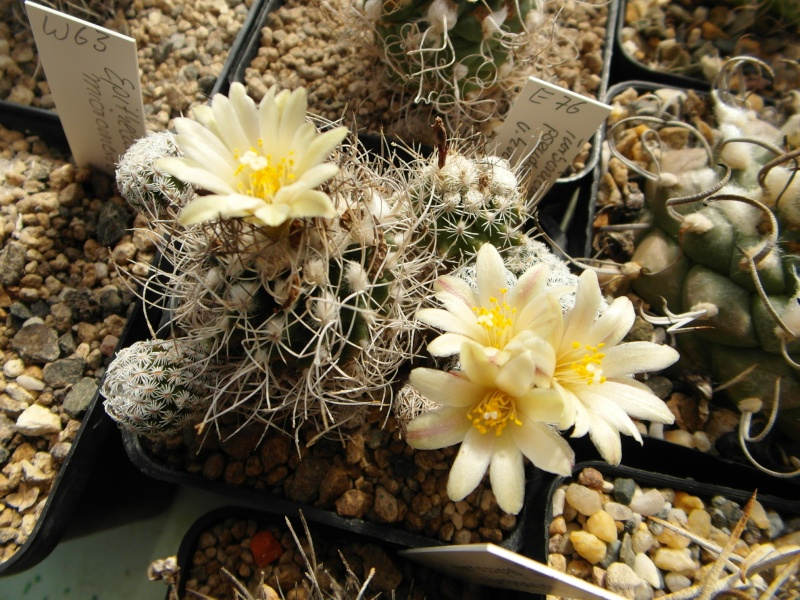 Cacti and Sukkulent in Köln, every day new flowers in the greenhouse Part 57 Bild_521