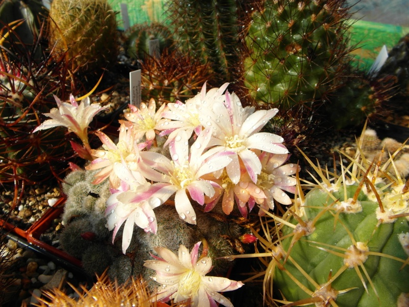 Cacti and Sukkulent in Köln, every day new flowers in the greenhouse Part 57 Bild_527