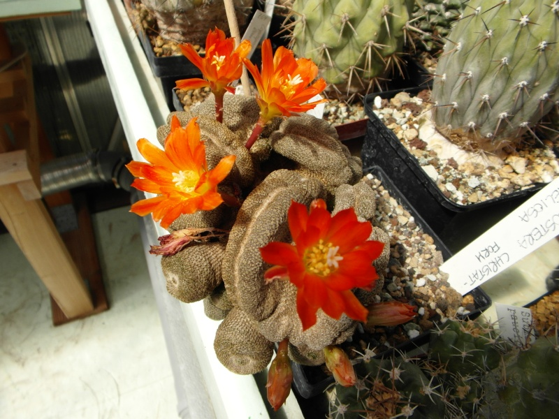 Cacti and Sukkulent in Köln, every day new flowers in the greenhouse Part 58 Bild_547