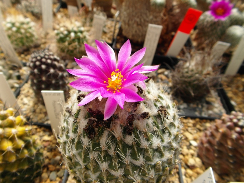 Cacti and Sukkulent in Köln, every day new flowers in the greenhouse Part 58 Bild_552
