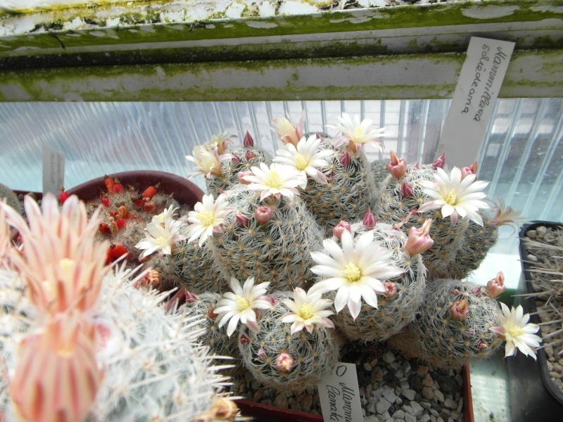 Cacti and Sukkulent in Köln, every day new flowers in the greenhouse Part 58 Bild_554