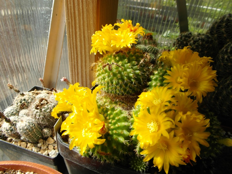 Cacti and Sukkulent in Köln, every day new flowers in the greenhouse Part 58 Bild_555