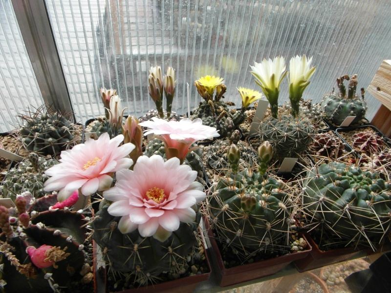 Cacti and Sukkulent in Köln, every day new flowers in the greenhouse Part 58 Bild_558