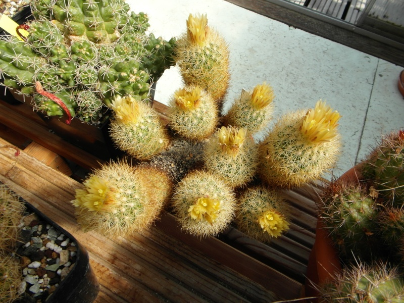 Cacti and Sukkulent in Köln, every day new flowers in the greenhouse Part 58 Bild_562