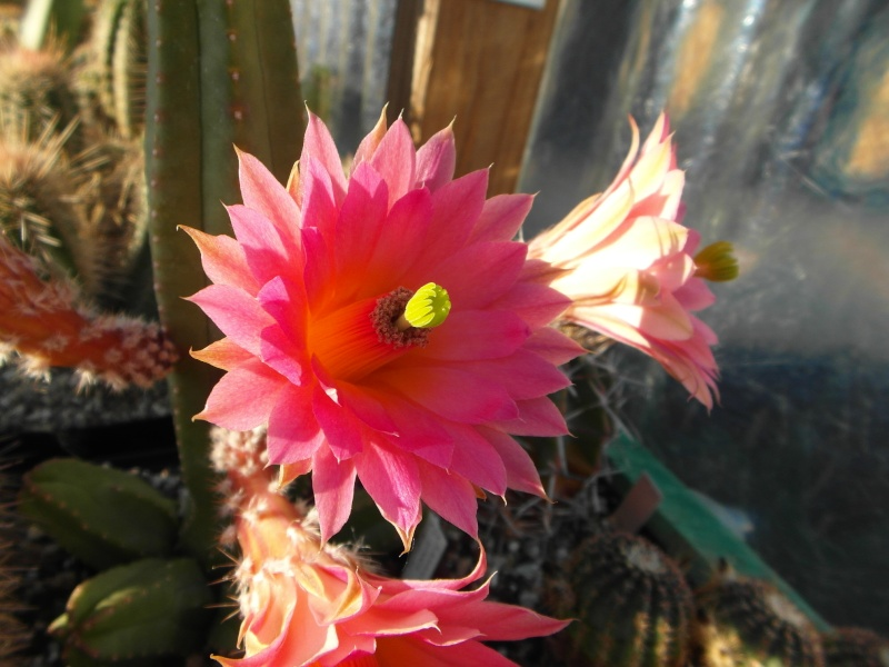 Cacti and Sukkulent in Köln, every day new flowers in the greenhouse Part 58 Bild_572