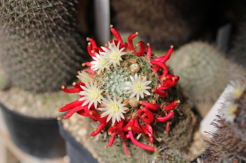 Cacti and Sukkulent in Köln, every day new flowers in the greenhouse Part 58 Bild_576