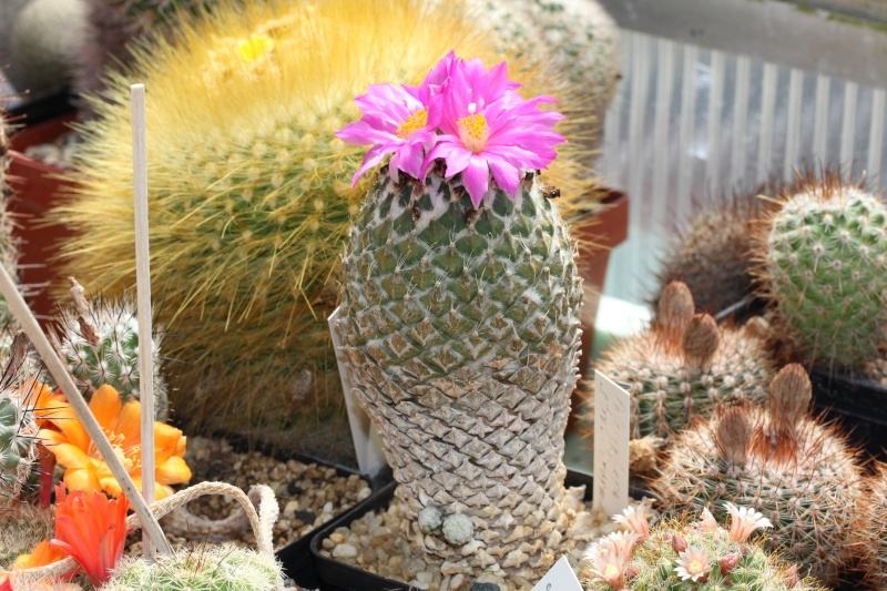 Cacti and Sukkulent in Köln, every day new flowers in the greenhouse Part 58 Bild_586