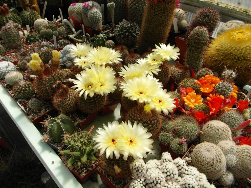Cacti and Sukkulent in Köln, every day new flowers in the greenhouse Part 58 Bild_593