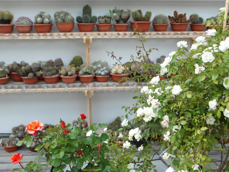 Cacti and Sukkulent in Köln, every day new flowers in the greenhouse Part 58 Bild_598