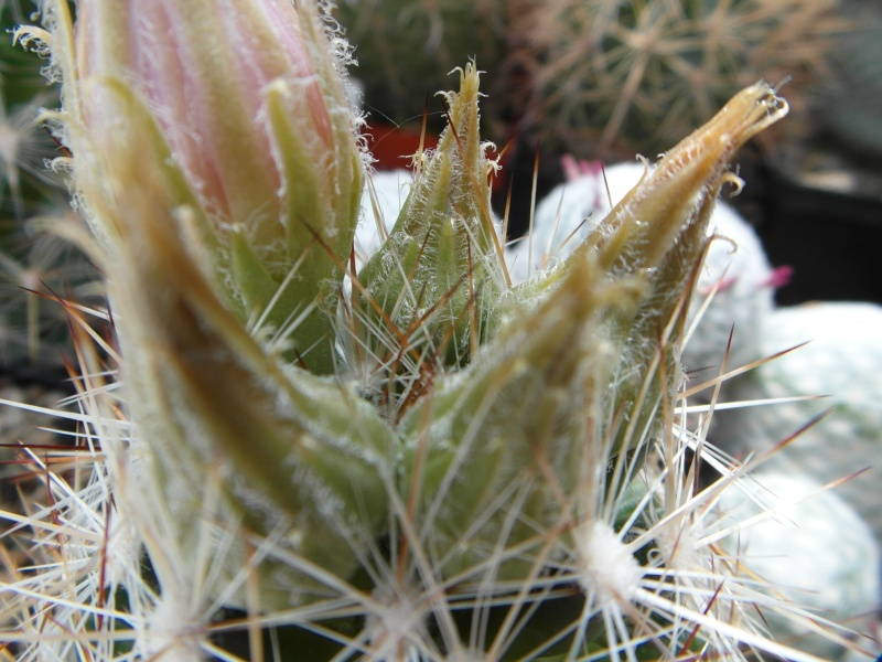 Cacti and Sukkulent in Köln, every day new flowers in the greenhouse Part 62 Bild_600