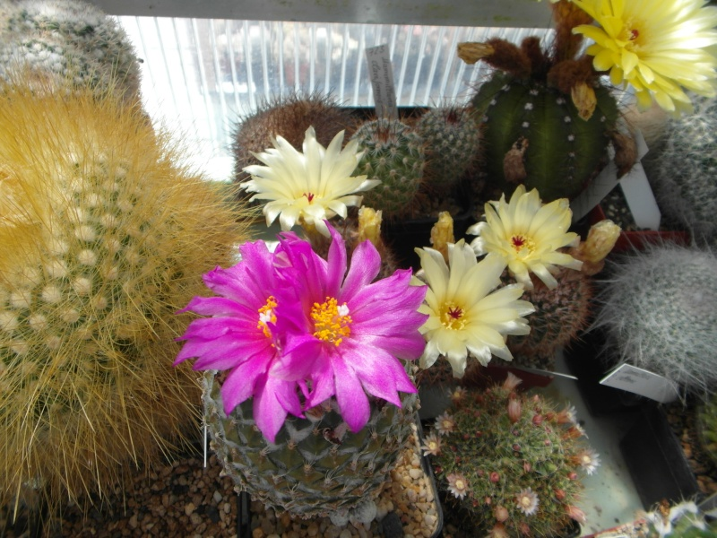 Cacti and Sukkulent in Köln, every day new flowers in the greenhouse Part 62 Bild_601