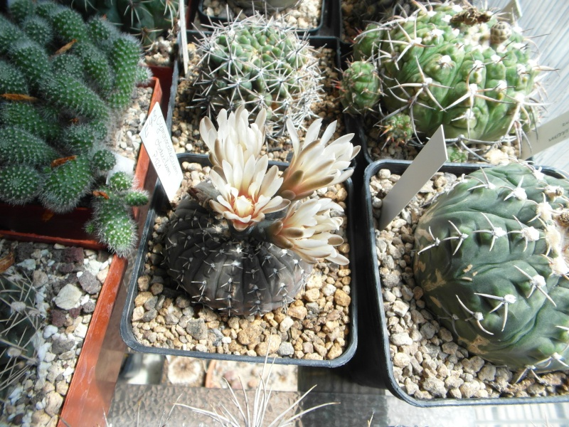Cacti and Sukkulent in Köln, every day new flowers in the greenhouse Part 62 Bild_606
