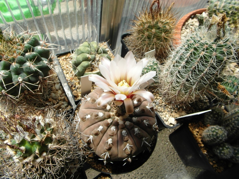 Cacti and Sukkulent in Köln, every day new flowers in the greenhouse Part 62 Bild_607