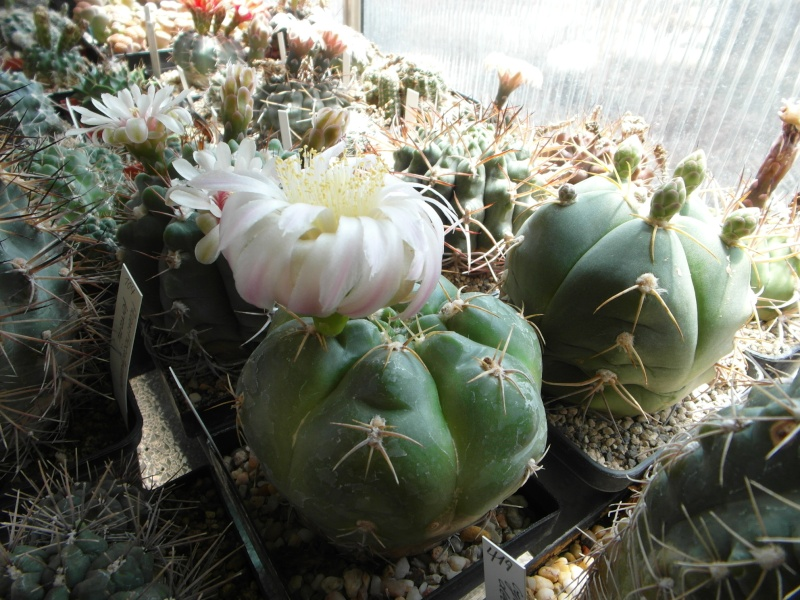 Cacti and Sukkulent in Köln, every day new flowers in the greenhouse Part 62 Bild_608