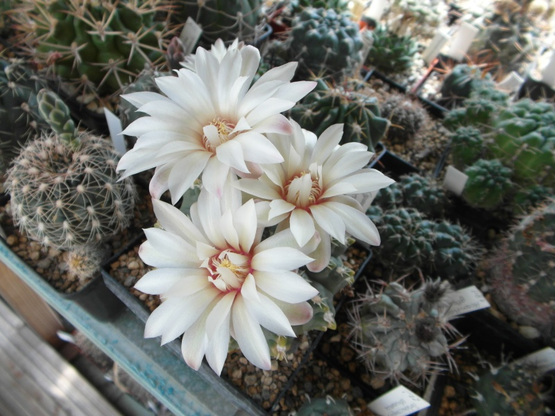 Cacti and Sukkulent in Köln, every day new flowers in the greenhouse Part 62 Bild_609