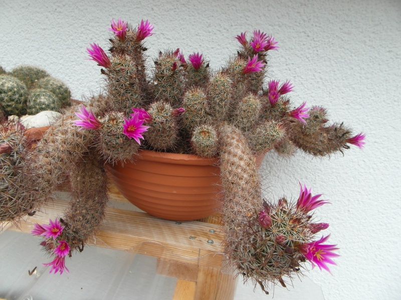 Cacti and Sukkulent in Köln, every day new flowers in the greenhouse Part 57 Bild_630