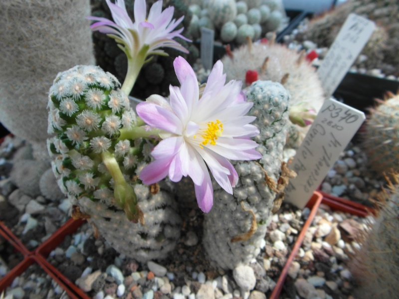 Cacti and Sukkulent in Köln, every day new flowers in the greenhouse Part 59 Bild_664
