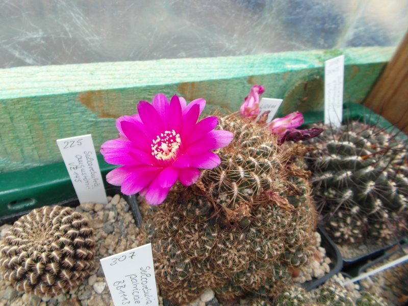 Cacti and Sukkulent in Köln, every day new flowers in the greenhouse Part 59 Bild_669