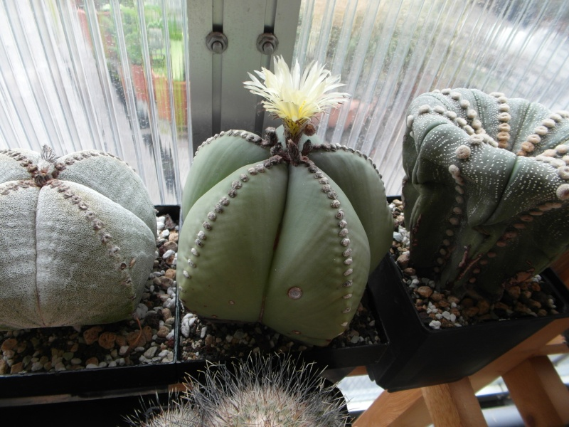 Cacti and Sukkulent in Köln, every day new flowers in the greenhouse Part 59 Bild_678