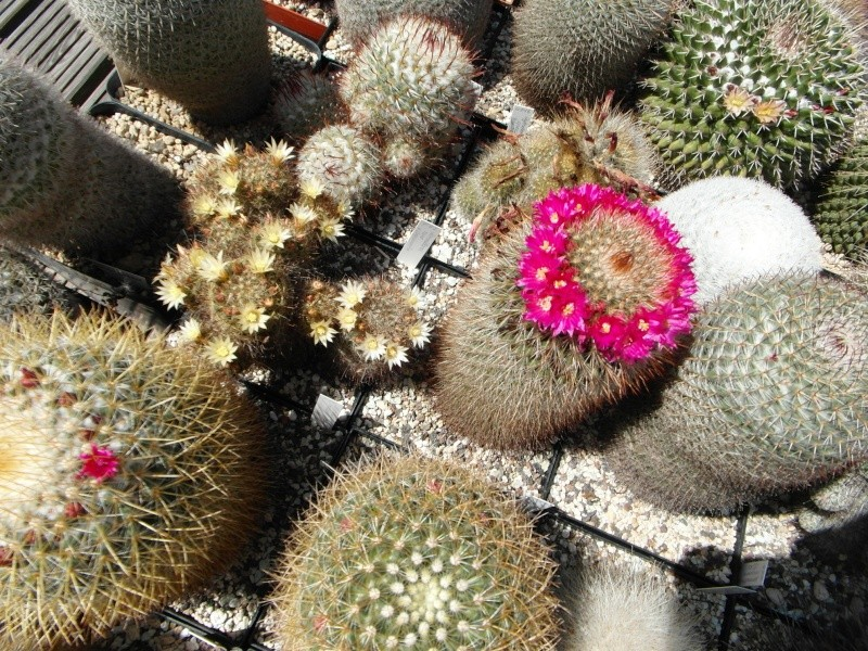 Cacti and Sukkulent in Köln, every day new flowers in the greenhouse Part 62 Bild_704