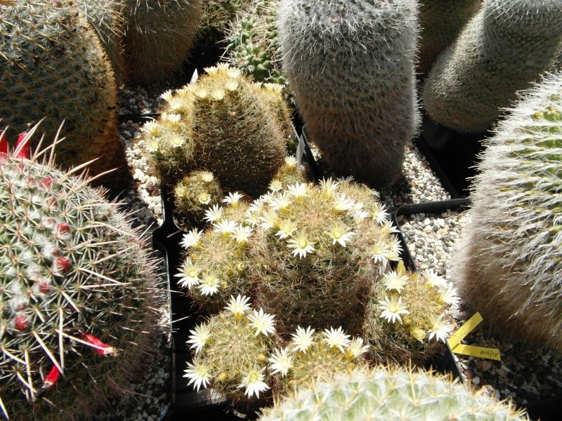 Cacti and Sukkulent in Köln, every day new flowers in the greenhouse Part 62 Bild_707
