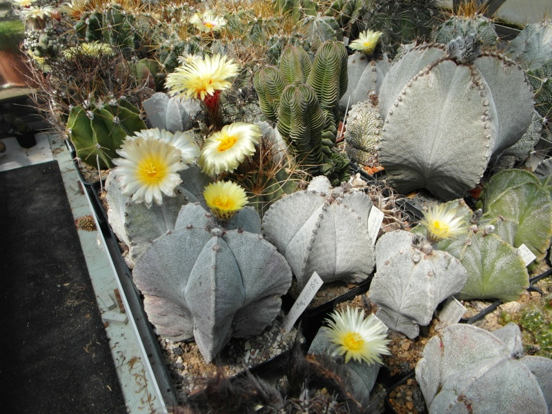 Cacti and Sukkulent in Köln, every day new flowers in the greenhouse Part 62 Bild_708