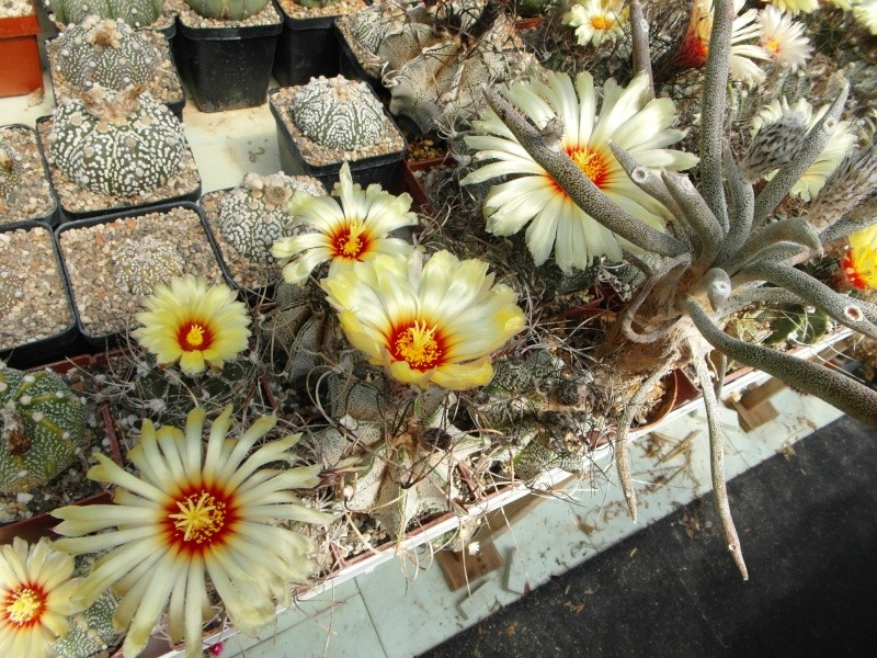Cacti and Sukkulent in Köln, every day new flowers in the greenhouse Part 62 Bild_711