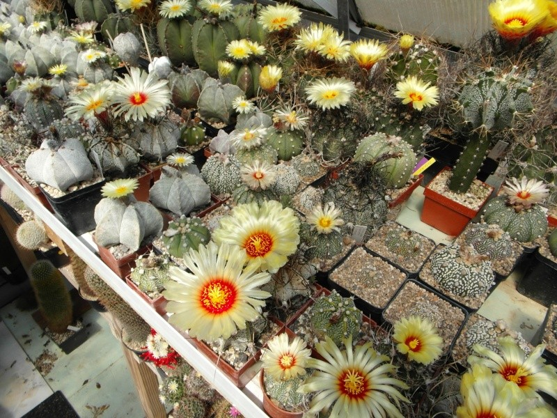 Cacti and Sukkulent in Köln, every day new flowers in the greenhouse Part 62 Bild_713
