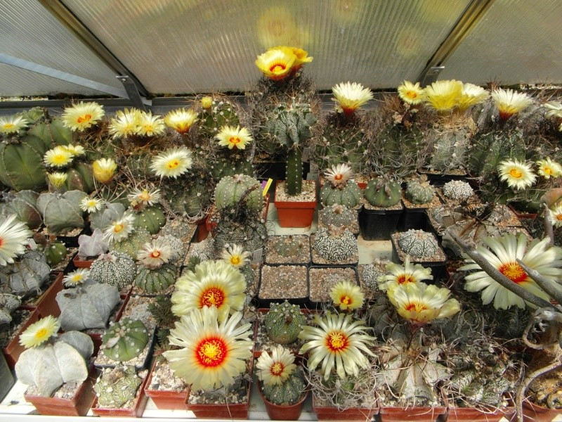 Cacti and Sukkulent in Köln, every day new flowers in the greenhouse Part 62 Bild_716
