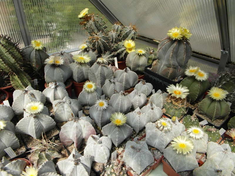 Cacti and Sukkulent in Köln, every day new flowers in the greenhouse Part 62 Bild_717