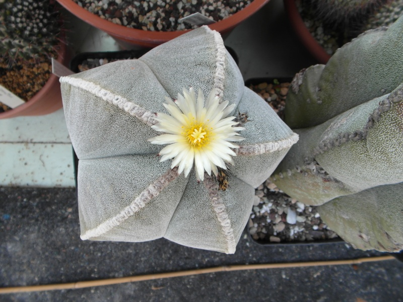 Cacti and Sukkulent in Köln, every day new flowers in the greenhouse Part 62 Bild_718