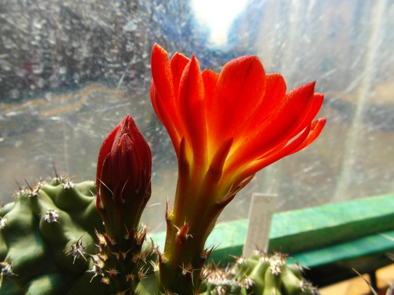 Cacti and Sukkulent in Köln, every day new flowers in the greenhouse Part 62 Bild_721
