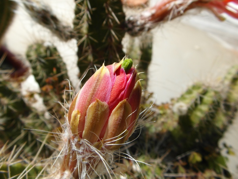 Cacti and Sukkulent in Köln, every day new flowers in the greenhouse Part 62 Bild_722