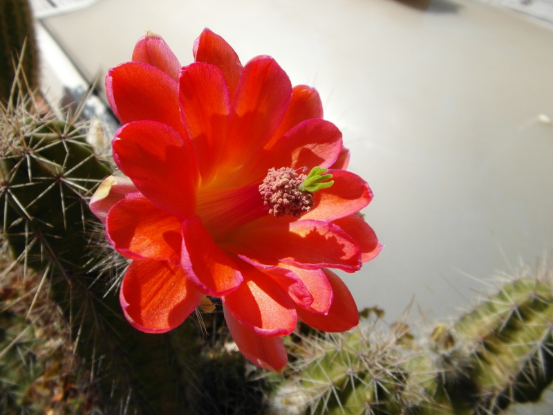 Cacti and Sukkulent in Köln, every day new flowers in the greenhouse Part 62 Bild_723