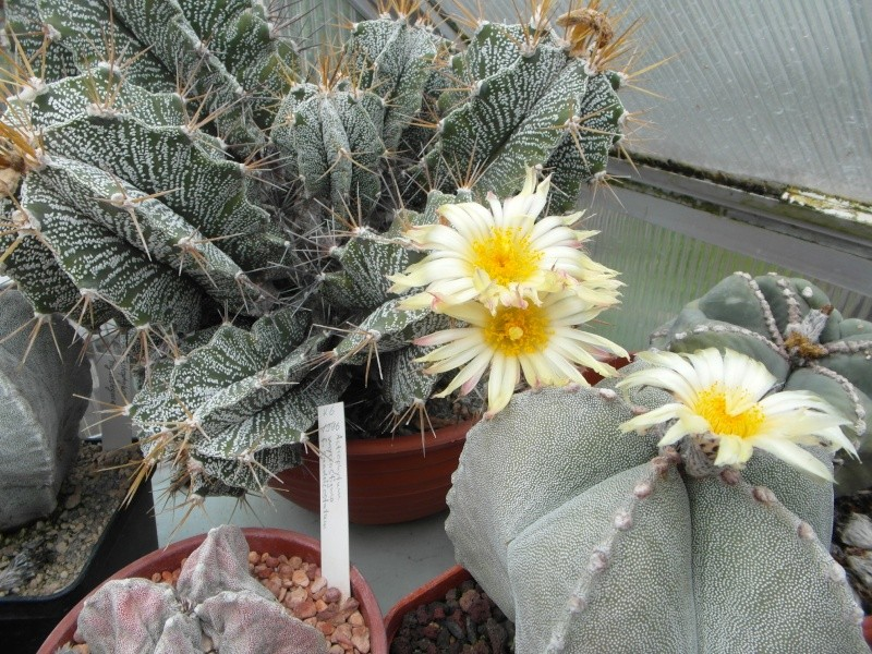 Cacti and Sukkulent in Köln, every day new flowers in the greenhouse Part 62 Bild_727