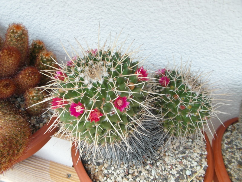 Cacti and Sukkulent in Köln, every day new flowers in the greenhouse Part 62 Bild_729
