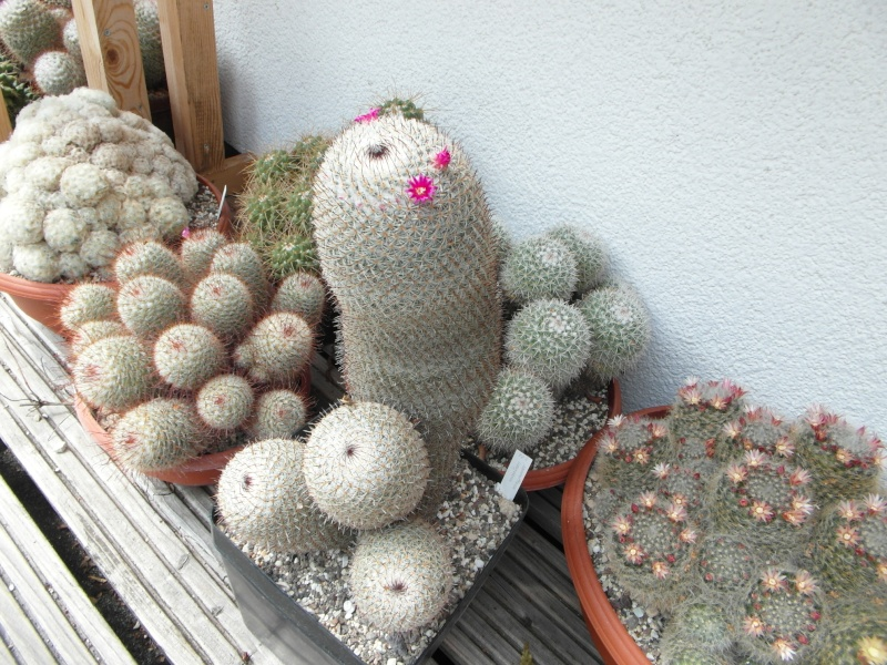 Cacti and Sukkulent in Köln, every day new flowers in the greenhouse Part 62 Bild_730