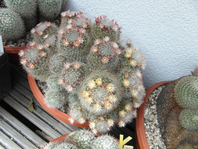 Cacti and Sukkulent in Köln, every day new flowers in the greenhouse Part 62 Bild_731
