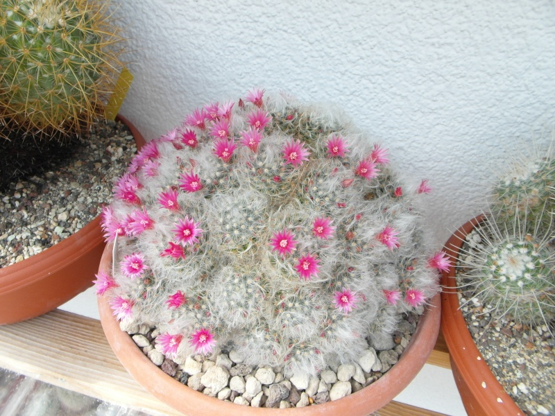 Cacti and Sukkulent in Köln, every day new flowers in the greenhouse Part 62 Bild_732