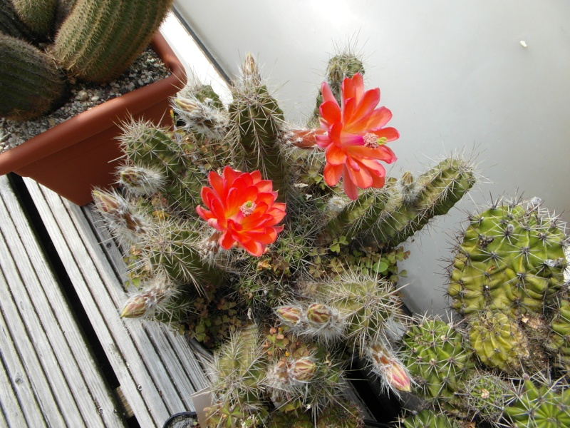 Cacti and Sukkulent in Köln, every day new flowers in the greenhouse Part 62 Bild_734