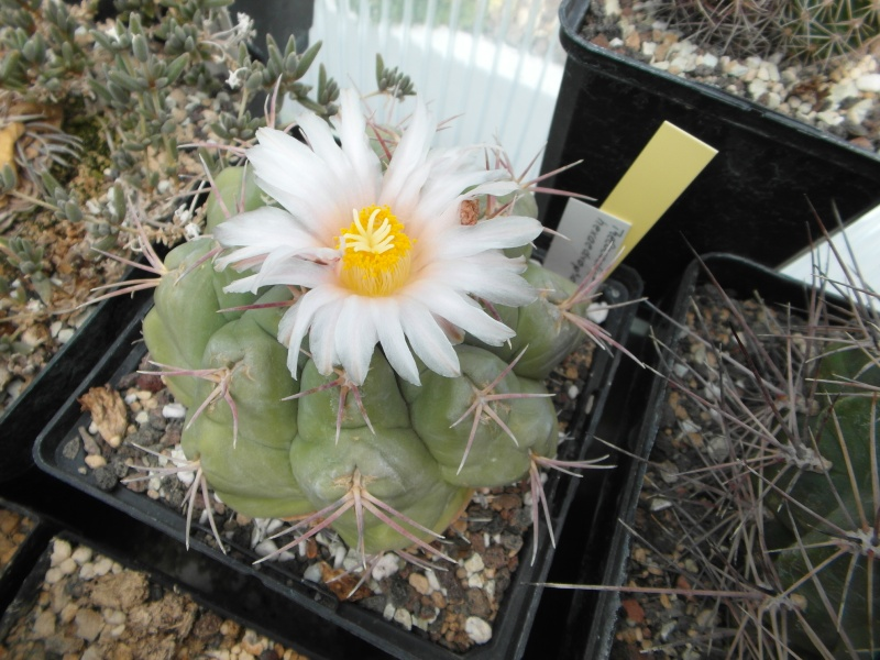 Cacti and Sukkulent in Köln, every day new flowers in the greenhouse Part 62 Bild_736