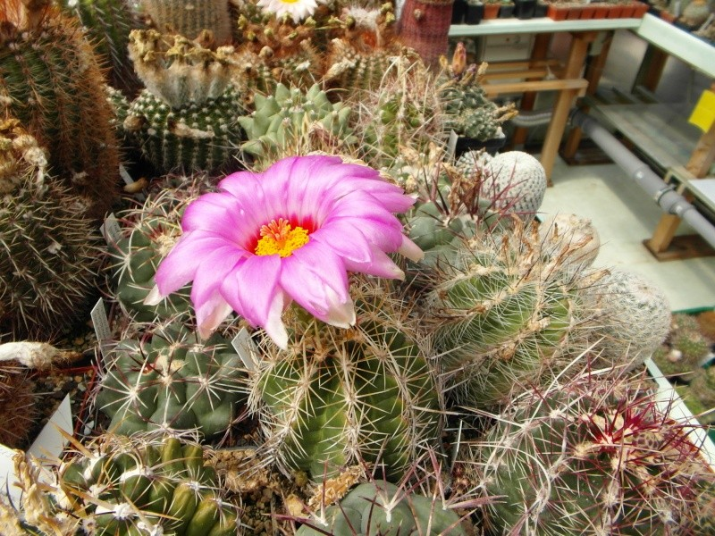Cacti and Sukkulent in Köln, every day new flowers in the greenhouse Part 62 Bild_737
