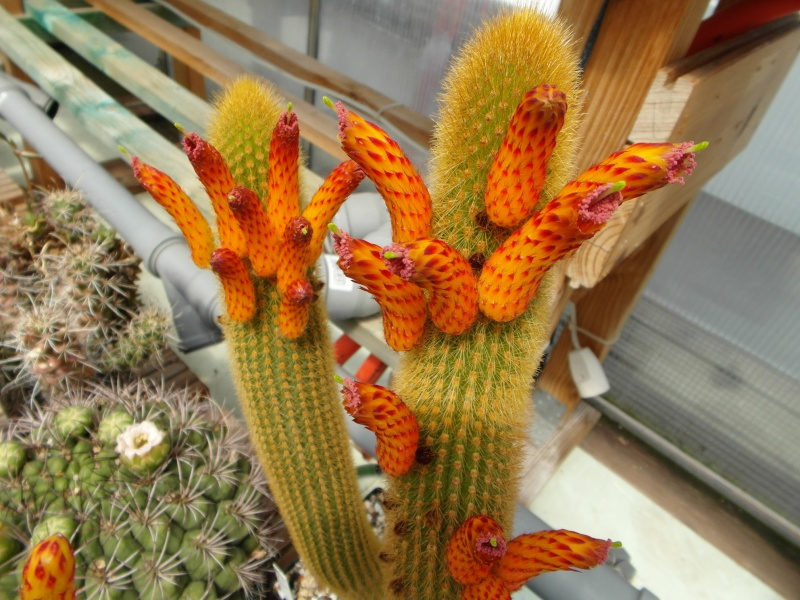 Cacti and Sukkulent in Köln, every day new flowers in the greenhouse Part 62 Bild_738
