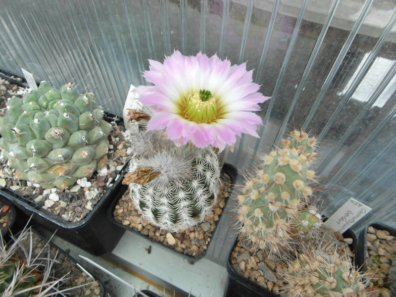 Cacti and Sukkulent in Köln, every day new flowers in the greenhouse Part 62 Bild_740
