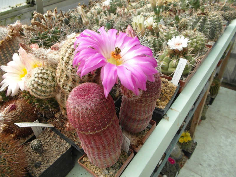 Cacti and Sukkulent in Köln, every day new flowers in the greenhouse Part 62 Bild_741