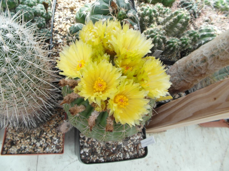 Cacti and Sukkulent in Köln, every day new flowers in the greenhouse Part 62 Bild_742