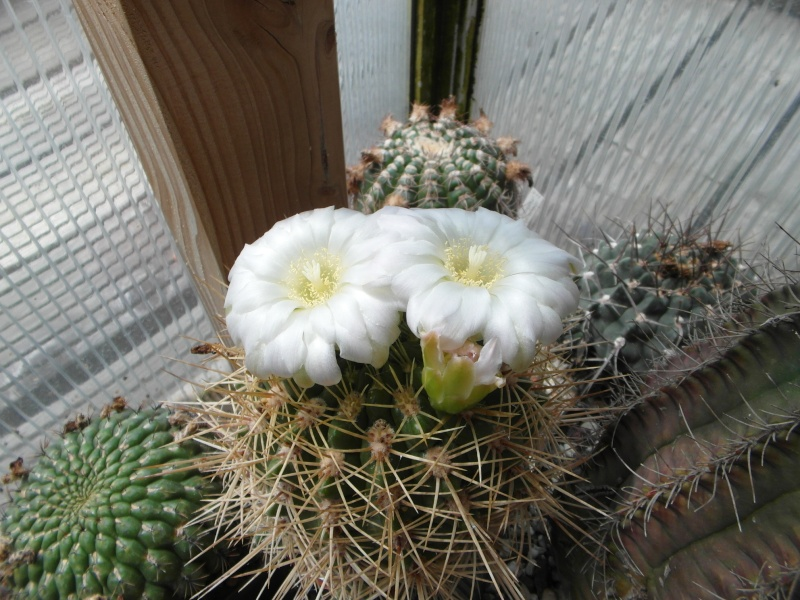 Cacti and Sukkulent in Köln, every day new flowers in the greenhouse Part 62 Bild_745