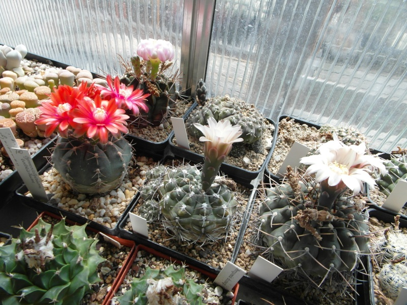 Cacti and Sukkulent in Köln, every day new flowers in the greenhouse Part 62 Bild_746